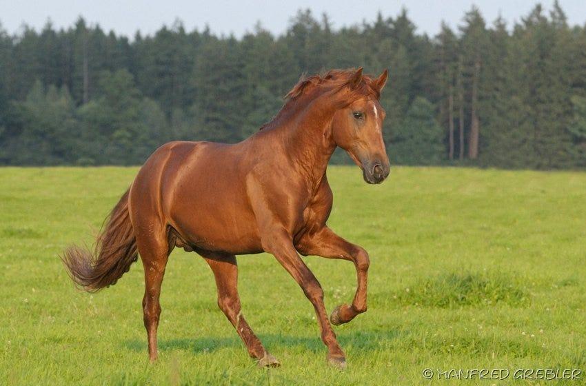 Fuchsfarbenes Pferd