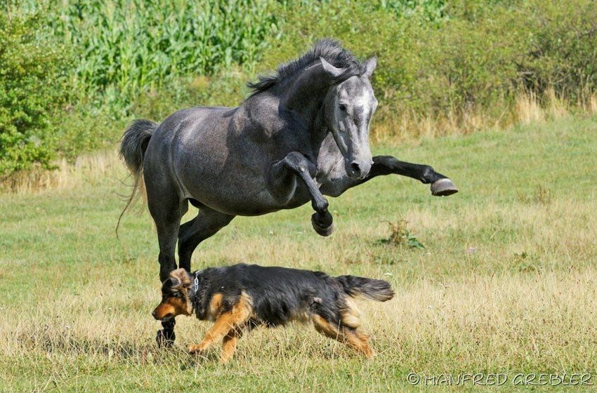 Pferd und Hund auf der Weide
